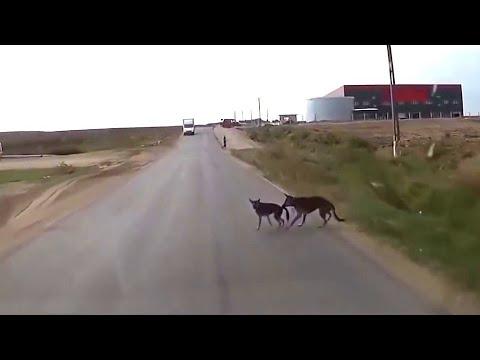 Видео как животные спасают друг друга