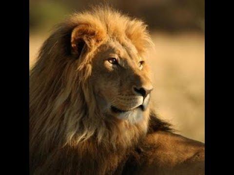 +16.   Львы   суперхищники дикой природы   документальный фильм NAT GEO WILD animal pla