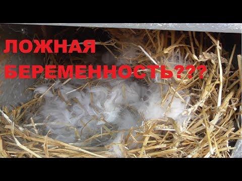 Ложная беременность у кроликов?