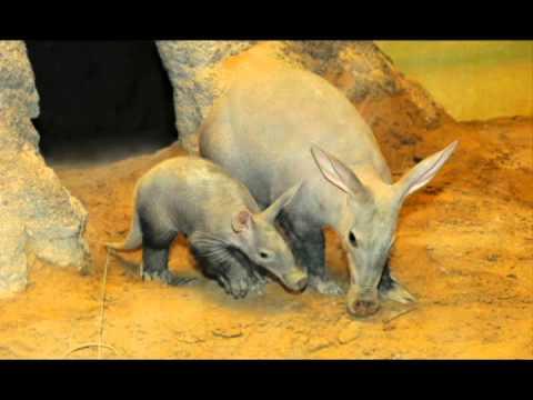 A Aardvarks Music Cute Aardvarks ...