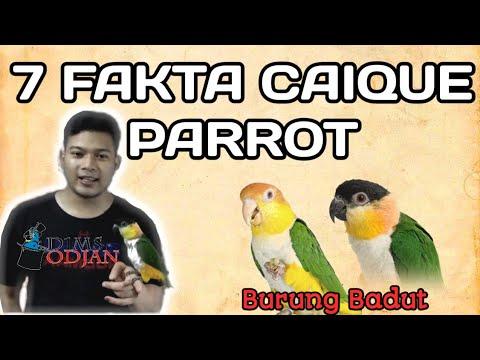 7 fakta unik burung caique