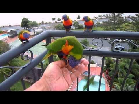 Wild  rainbow lorikeets 2011 in Gold Coast