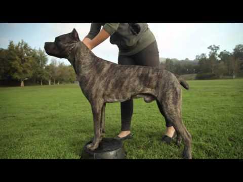 CANE CORSO: A DOG LOVER'S INTRODUCITION