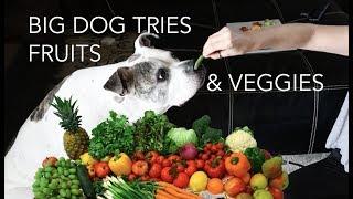 BIG BULLDOG TRIES FRUITS & VEGGIES | skip2mylou