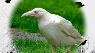 Удивительно! Оказывается существует белая ворона!(Удивительно! Оказывается существует белая ворона! Самая красивая на свете птица — белая ворона. Потому..., 2016-05-27T10:42:33.000Z)
