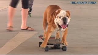 Bobo The Skateboarding Bulldog