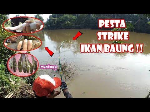 Pesta Strike Ikan Baung Di Sungai Favorit Yt Fry Umpan Kucur Mancing Di Air Keruh 49 Youtube