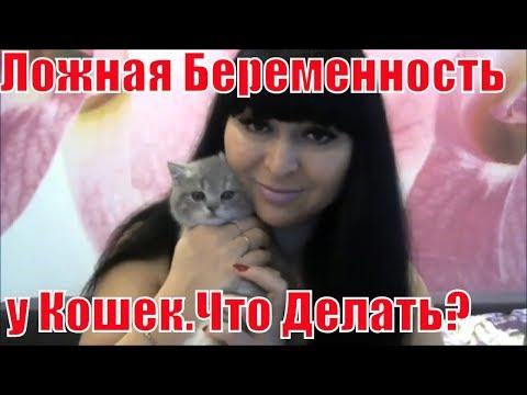 Шотландские кошки.Ложная беременность у Шотландских  кошек.Что делать