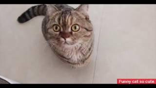 Funny cat so cute 丨 Munchkin cat Active and curious cat丨TOP cat