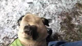 Stella The Pug