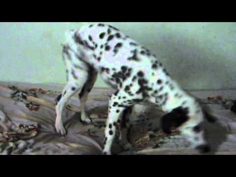 Dogs vs ESK Breed Dalmatians ESK TV