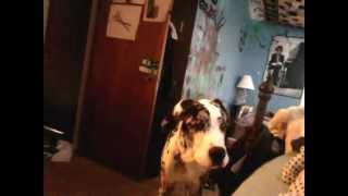 Moby The Great Dane / Saint Bernard Being A Tough Puppy