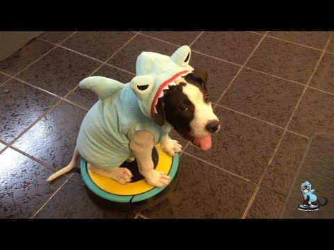 Happy #SharkWeek from #MakoTheShark!! PitBull Puppy on a #Roomba | TexasGirly1979