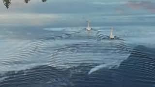 joutsenet - swans (ilmakuvaa)