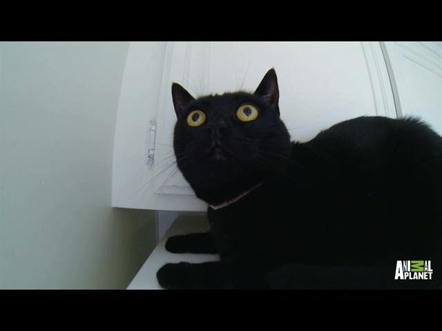 No One Puts Littlez in a Corner! | My Cat From Hell