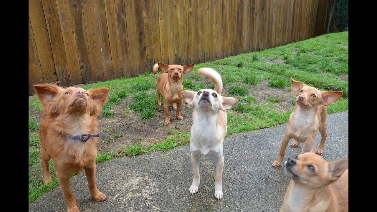 ADOPTED: Chihuahua PUPPIES, Washington German Shepherd ...