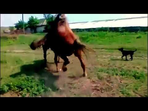 Canelos Mating my horse BROWNY Miniature horses mating ...