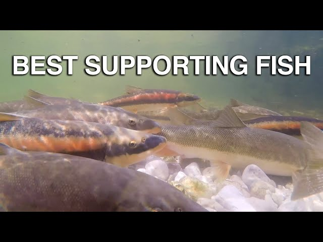Best Supporting Fish - Great Lakes Now - Episode 1026 - Segment 3