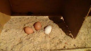 Первое яйцо от Пушкинских