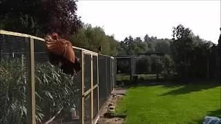 Hen flies away from rooster in slowmotion