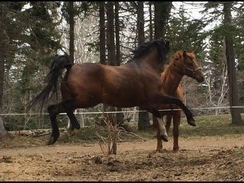 Horses' First Meeting (my crazy squealing Arabian) (funny)