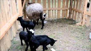 Овцы и ягнята на АГРОВЕСНА - 2016 в Гродно.