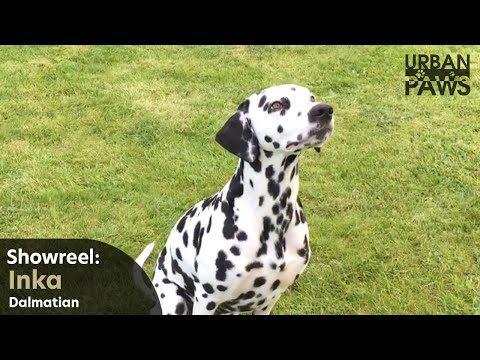 Dog Training: Inka (Dalmatian) - Recall, Leave, Stay
