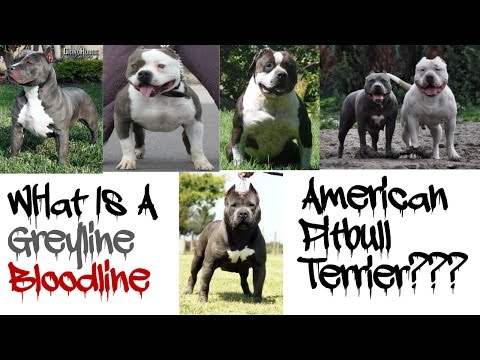 What Is A Greyline Pitbull???