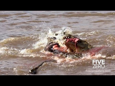 Crocs rip hippo in half during feeding frenzy