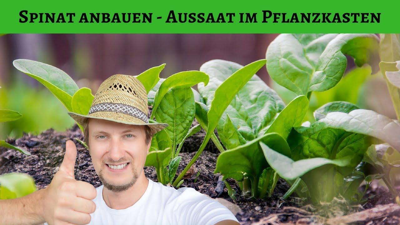 Spinat Anbauen & Aussäen Im Balkon Pflanzkasten 😍
