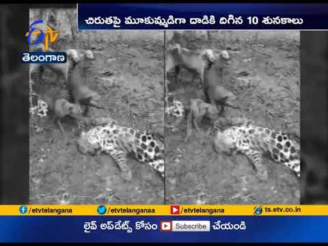 Leopard Feared Dead   After at a Time 10 Dogs Attack   at Karnataka -    Kerala Border