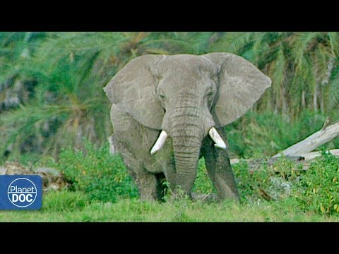 Full Documentary: African Elephants