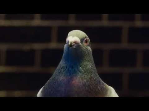 Virgin Money advert (Dancing Pigeon)