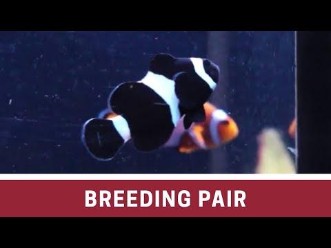 Mixed Breeding Pair Ocellaris Clownfish At Elite Reef Of Denver, Colorado