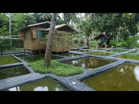 How Did They Do This? Thousands Of Molly Fish Primitive Molly Fish Farm | FishVlog Adventure