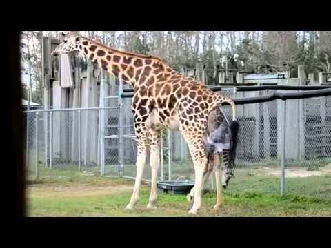 Thumbnail: Giraffes Giving Birth at Zoo