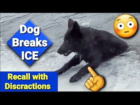 Puppy Breaks Ice!! - Teaching Kratos to Recall with Distractions