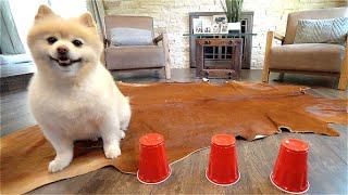 Testing Pomeranian Dog's Intelligent/How smart is a Pomeranian [Sprint]