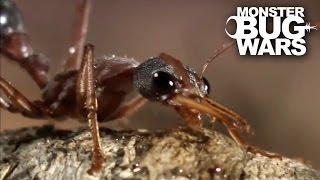 Bull Ant Vs Redback Spider | MONSTER BUG WARS
