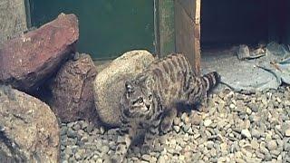 Боливия: редкую андскую кошку выпустили в дикую природу (новости)