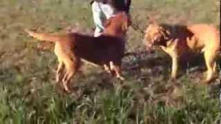 Ack Champion Dogue De Bordeaux Ovado  Puppycreek Kennels