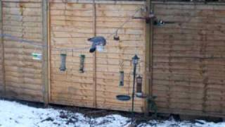 Wood Pigeon On Washing Line
