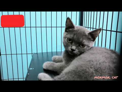 animal-planet-cute-british-shorthair-kitten-in-the-cage-#cat