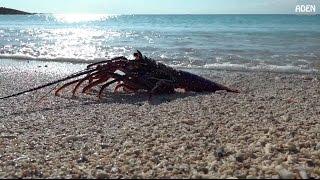 如何從海邊抓龍蝦