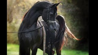 Арабский скакун | Скакун | Конный спорт | Equestrian sport