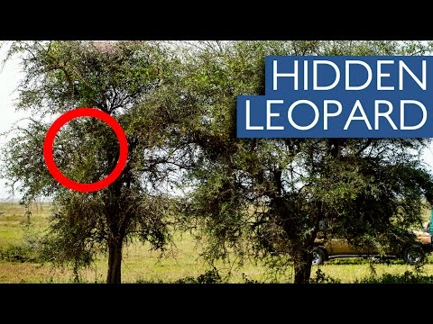 Can You Spot The Hidden Leopard In These Photos Youtube