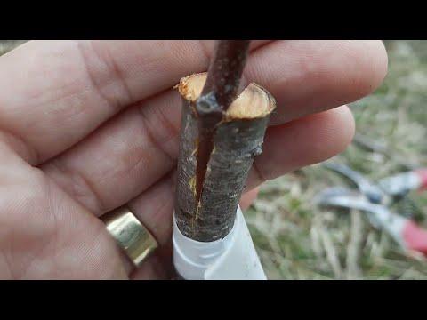 Altoirea pomilor pentru