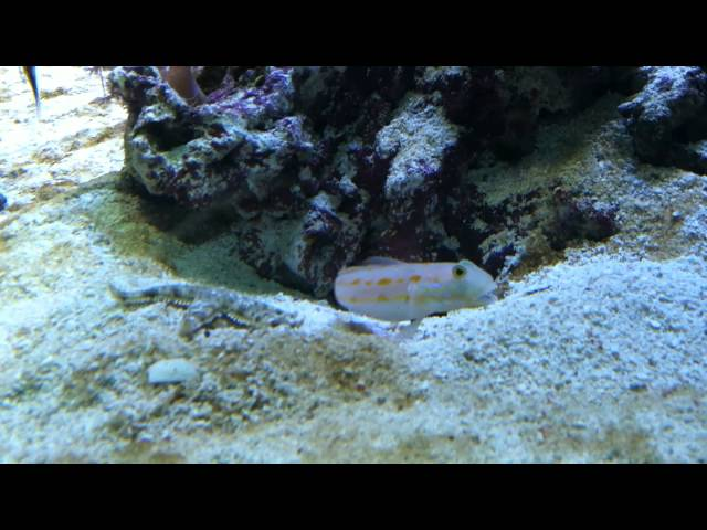 Fish digs a hole under a rock and starfish tries to steal his cave.