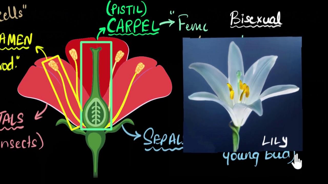Bisexual Flowers