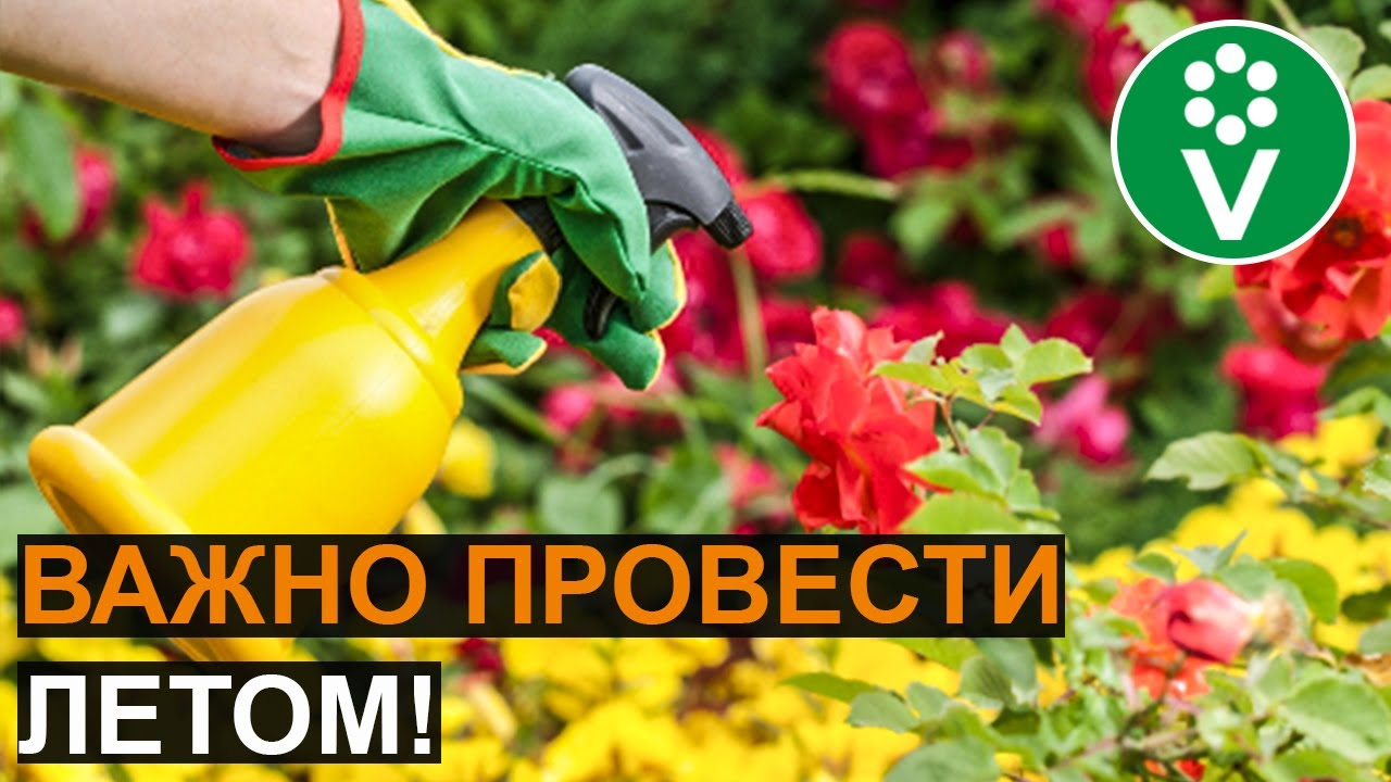 Главная ОБРАБОТКА РОЗ от болезней и вредителей!